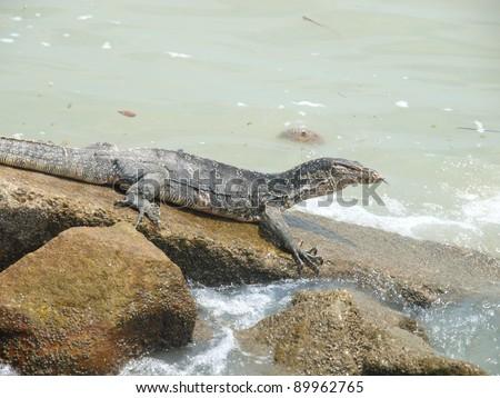 Monitor Lizard on the seaside - stock photo