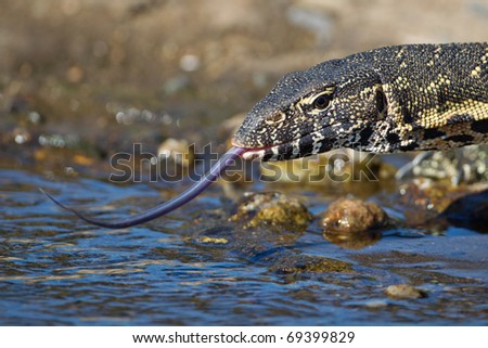 Monitor Lizard, South Africa - stock photo