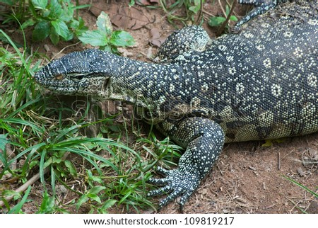 Monitor Lizard (Varanus niloticus) - stock photo