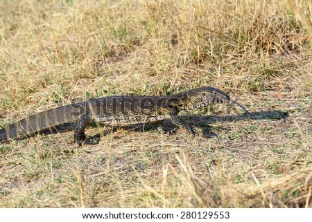 Monitor Lizard, Varanus niloticus on savanna, nambwa park Namibia, Africa - stock photo