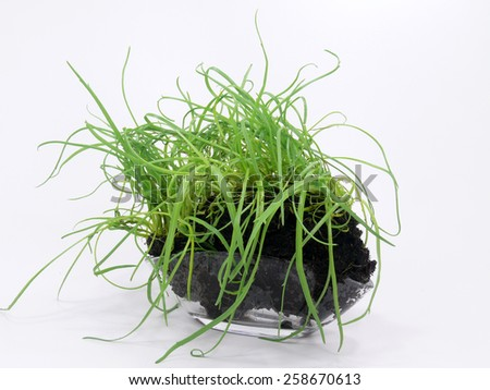 monk beard plant - stock photo
