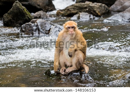 Monkey at Khlong Lan waterfall National Park, Thailand. Stump-tailed macaque, Bear macaque monkey. - stock photo