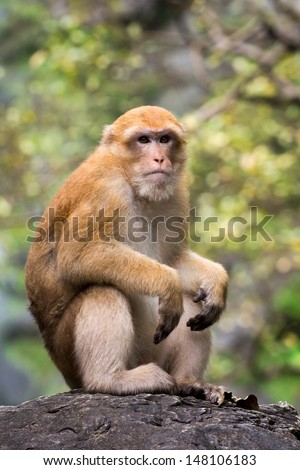 Monkey at Khlong Lan waterfall National Park, Thailand. Stump-tailed macaque, Bear macaque monkey. - stock photo