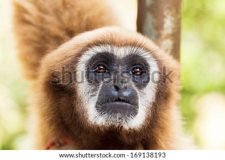 monkey, brown gibbon or Lar Gibbon, Thailand - stock photo