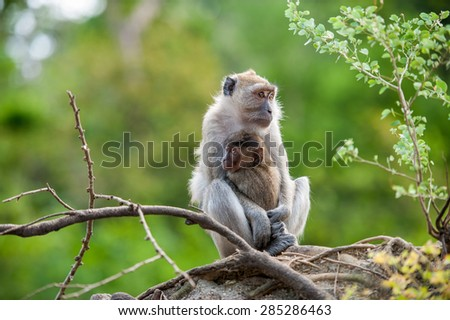 Monkey (Crab-eating macaque) breastfeeding baby in Thailand - stock photo