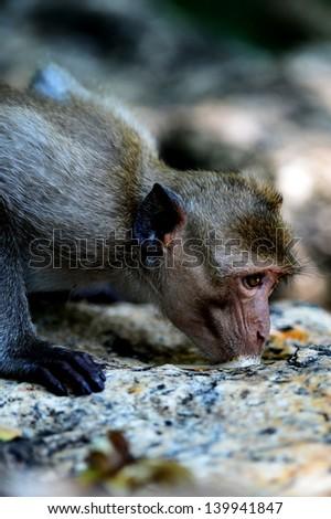 Monkey drinking water down the rocks - stock photo