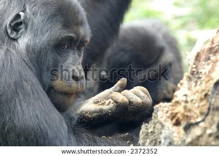 monkey eating - stock photo