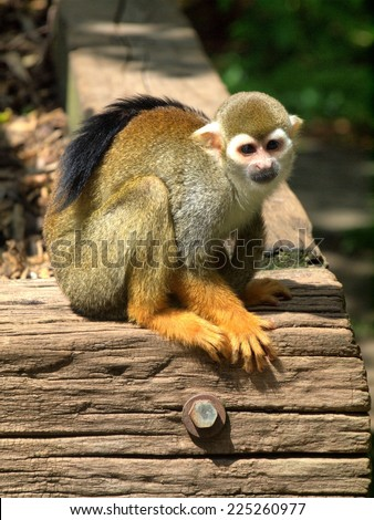 Monkey in the UK zoo. Travel in the car - stock photo