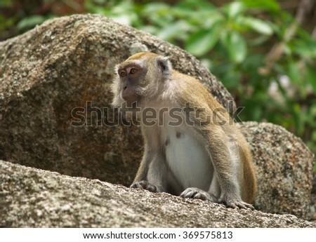 Monkey, Kuantan, Malaysia - stock photo