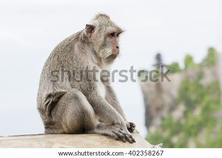 Monkey (Macaca fascicularis) near Pura Ulawatu templs, Bali Indonesia. - stock photo