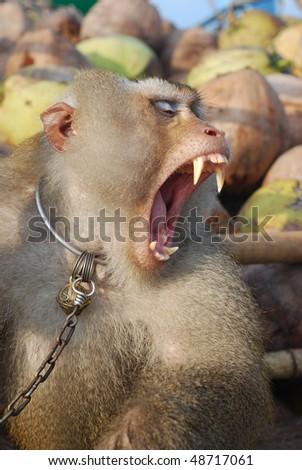 Monkey Macaque Coconut Agape - stock photo