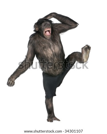 monkey monkeying  and screaming on one foot (Mixed-Breed between Chimpanzee and Bonobo) (20 years old) in front of a white background - stock photo