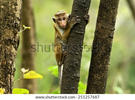 Monkey on the island of Sri Lanka in the wild - stock photo