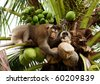 Monkey pick up a Coconut nut from a palm tree - stock photo