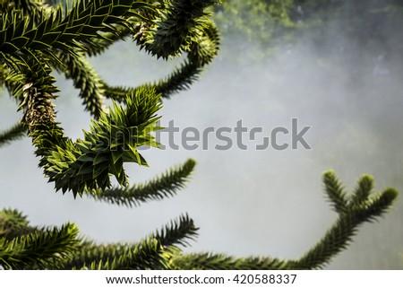Monkey puzzle tree (Araucaria araucana) on the mist background - stock photo