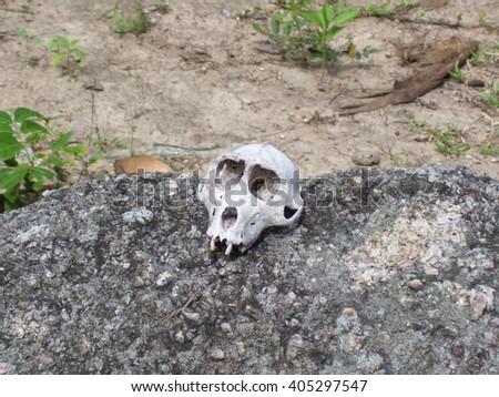 Monkey Skeleton Skull on a rock - stock photo