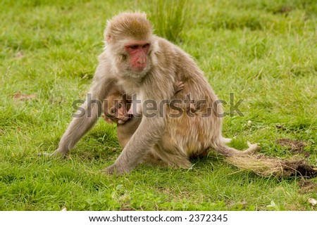 monkey with baby - stock photo