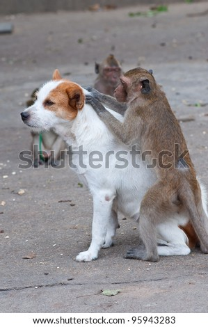 Monkeys checking for fleas and ticks in the dog - stock photo