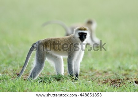 monkeys in african natural park - stock photo