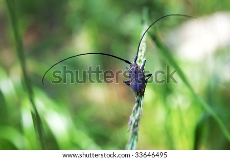 Monochamus sutor - a long-horned forest capricorn beetle sits on a blade with full-scale antennae, green blur background - stock photo