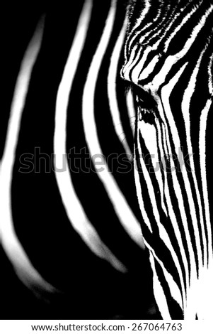 Monochromatic image of a the face of a Grevy's zebra - stock photo