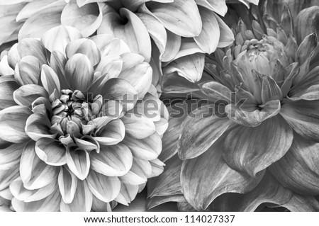 Monochrome Bouquet of Dahlia Flowers - stock photo