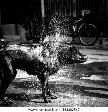 Monochrome flat coated retriever shaking off water after a swim - stock photo