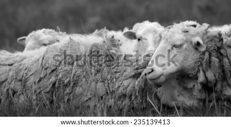 Monochrome photography sheep, rest on a meadow. - stock photo
