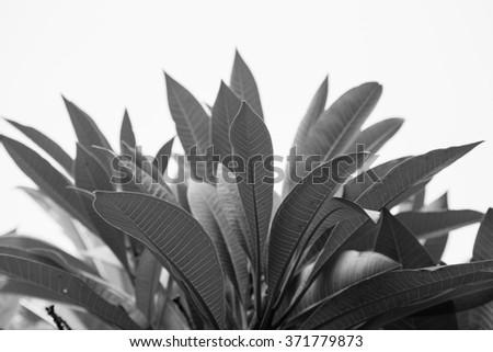 monoclome of frangipani leaf - stock photo