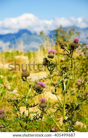 Mont Blanc Mountain covered with snow in summer. View from Cret de Chatillon (France). Selective focus on Thistle flowers. - stock photo