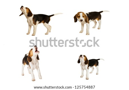 montage of beagle puppy dogs - stock photo