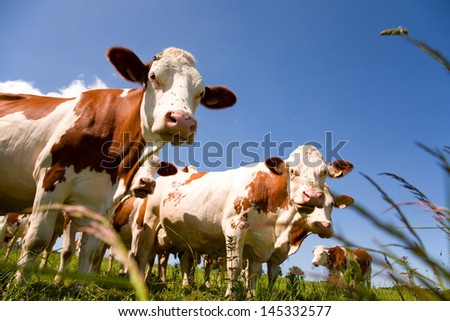 Montbeliarde cattle in the meadow - stock photo