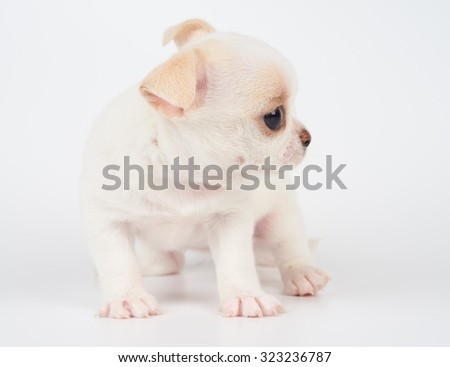 Month old puppy of Chihuahua sits on white background                 - stock photo
