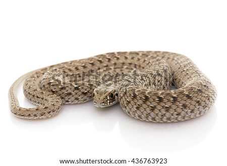 Montpellier snake in front of white background - stock photo