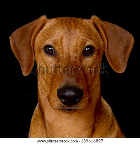 Moody close up portrait of a young male red German Pinscher on black background. - stock photo