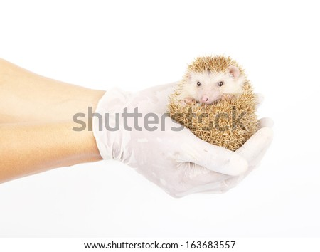 Moon rat or african pygmy hedgehog in hand with medical gloves - stock photo