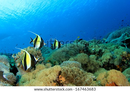 Moorish Idol fish on coral reef underwater - stock photo
