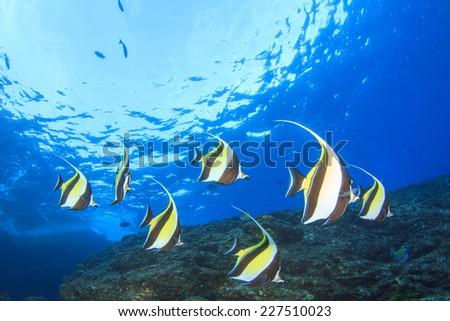 Moorish Idol fish on coral reef underwater - stock photo
