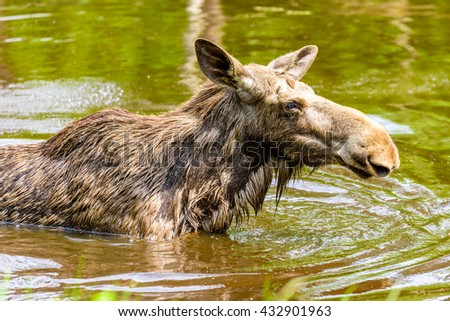 Moose (Alces alces), here a cow is in the freshwater lake close up with a little grass in the foreground. - stock photo