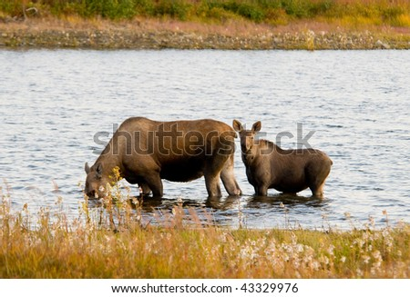 Moose and Calf in Alaska - stock photo