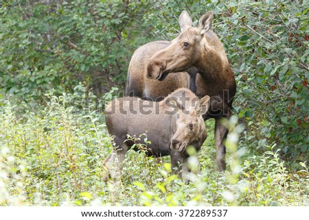 Moose and her calf - stock photo