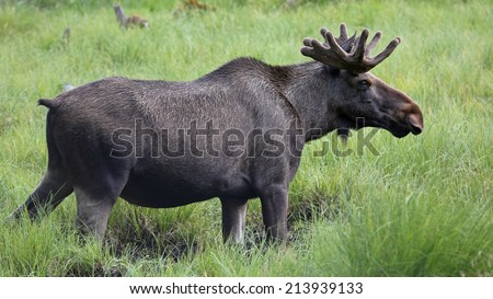 Moose bull (Alces alces) in wilderness - stock photo