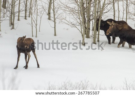Moose Calf and adults in the snow.  Taken in Eastern Idaho - stock photo