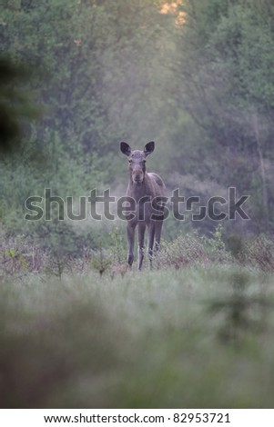 Moose early in the morning - stock photo