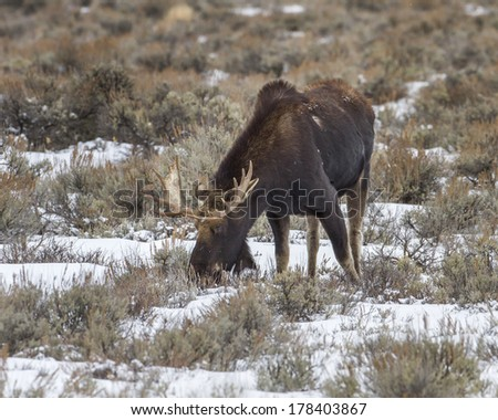 Moose foraging in sagebrush during winter taken on the Idaho and Wyoming border. - stock photo