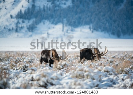 Moose, Grand Teton National Park, Wyoming - stock photo