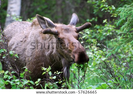 Moose in Alaskan Woods - stock photo