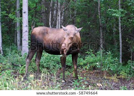 Moose in Alaskan woods - stock photo