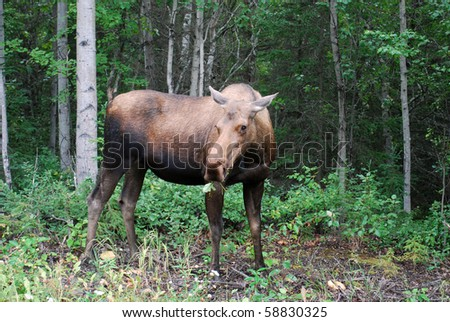 Moose in the Woods - stock photo