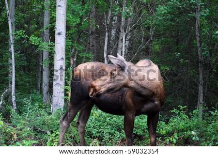 Moose looking backwards in Alaskan Woods - stock photo